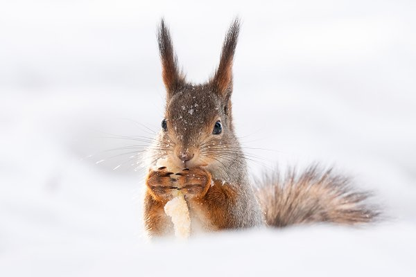 Animal Stock Photos: AlexBush - squirrel snow winter