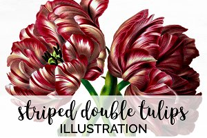 Striped Double Tulips Vintage Flower