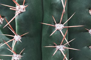Spiky texture of a big green cactus