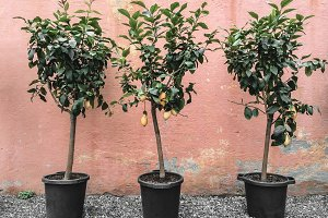 Lemon trees on pink wall background