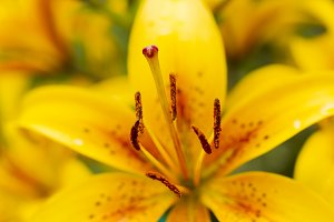 Yellow lily flowers