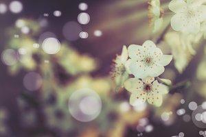 Flowering apricot, beatiful spring,