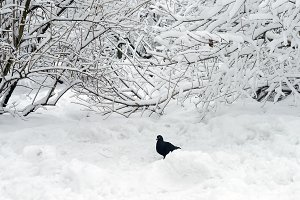 Pigeon on the snow