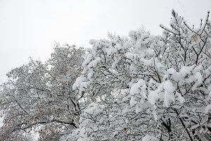 Trees covered with fresh snow