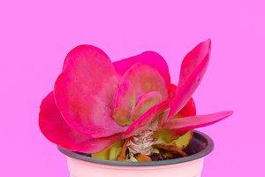 Cacti in pot. Cactus design fashion