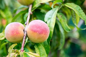 Branch of peach tree. сlose up of t