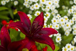 Red lily flowers