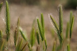Plants of wheat