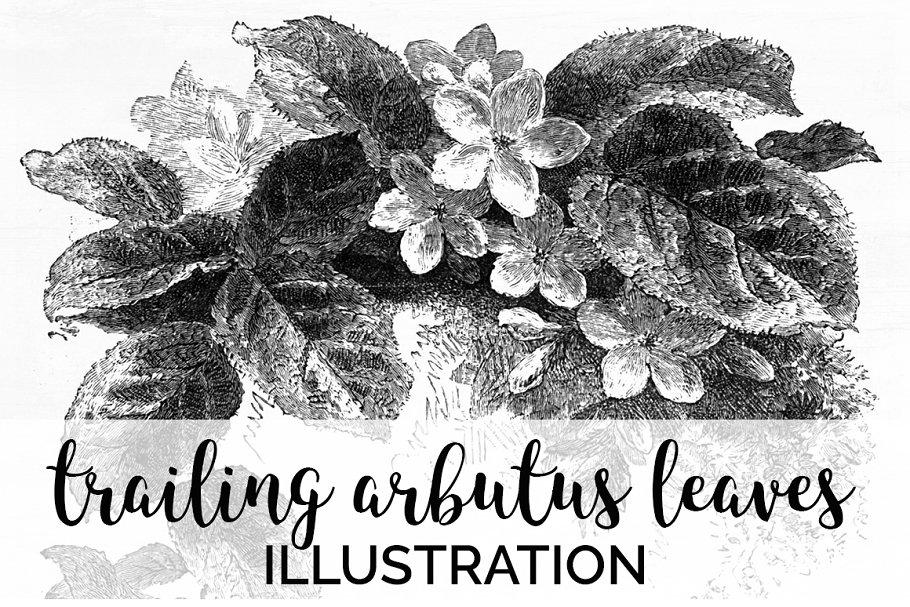 trailing arbutus leaves Vintage