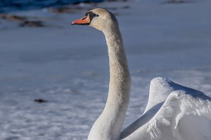 Swan portrait close-up