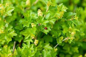 Ladybug on green leaves