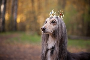 Dog in the crown,   afghan hounds