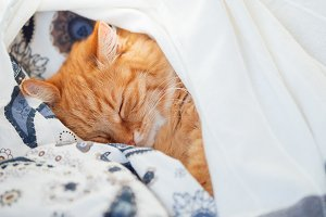 Cute ginger cat sleeping in bed