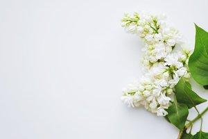 Lilac (Syringa) flowers on white bac