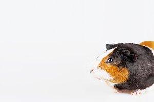 Cute tricolor Guinea pig