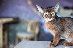 Abyssinian  kitten  sits  front view