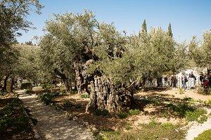 The Gethsemane Olive Orchard .