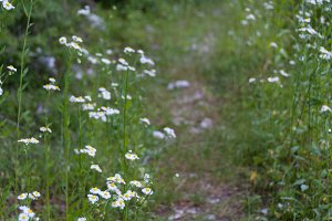Wild chamomile flowers in the forest