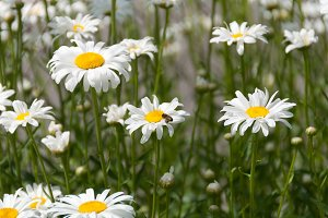 Honey bee flying next to white daisy