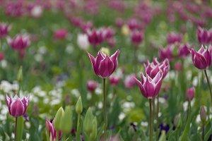 Delicate purple tulip flowers floral