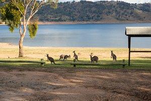Kangaroo mob near the lake in the