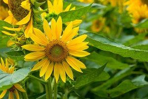 Blooming bright yellow sunflowers