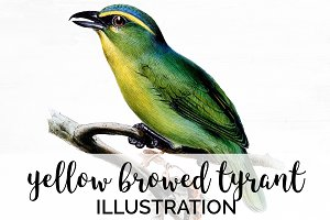 yellow browed tyrant