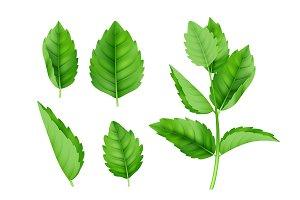 Mint leaves. Menthol spearmint fresh