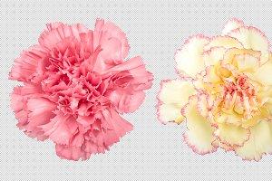 Carnation flower transparent PNG