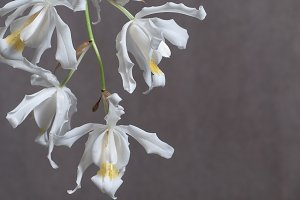 Flowers of Coelogyne cristata orchid