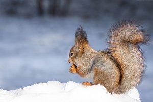 Squirrel tree in winter