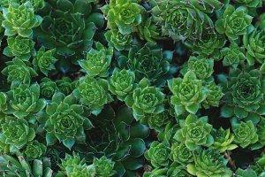 Succulents Closeup