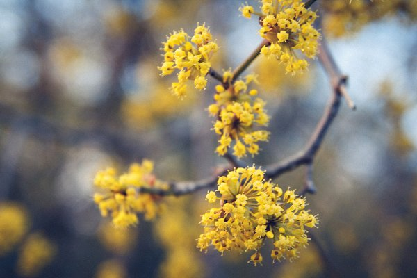 Stock Photos - Yellow flowers on a tree with