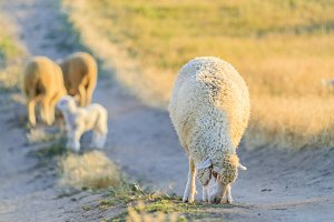 a sheep grazes on the road in the