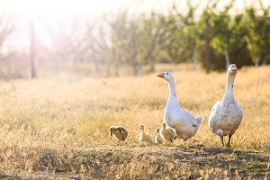 family of geese at sunset with sunny