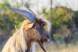 goat with big horns and beard