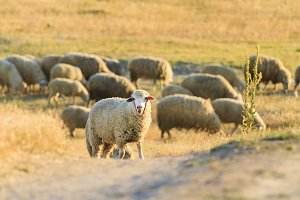 sheep graze on a hill in the rays of