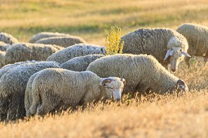 sheep graze on the field in the rays
