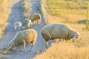 sheep graze on the road in the rays
