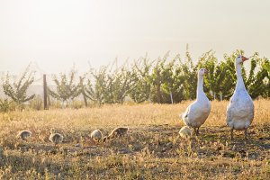 white geese family at sunset with