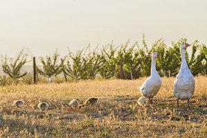 white geese family at sunset