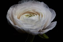 White ranunculus isolated on a black by  in Nature