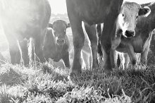 Curious Cows in Black and White