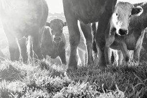 Curious Cows Black & White Photo