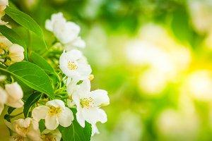 Apple tree blossom close up.