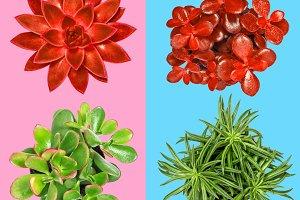 Succulent plant pink blue background