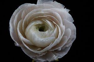 Beautiful white buttercup