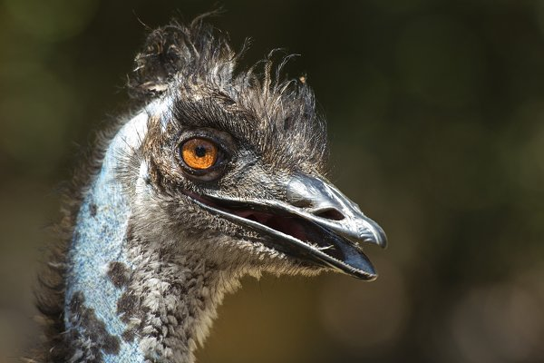 Stock Photos: robdimagery - Australian Emu outdoors