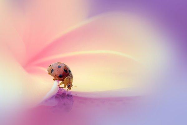 Animal Stock Photos - Ladybug On Flowers
