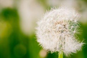 Close up of singe dandelion flower.